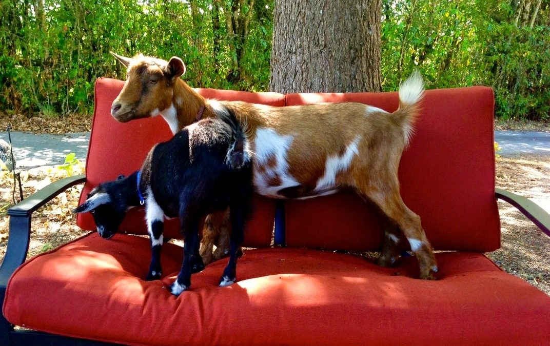 And Then There Were Goats… (Part II)