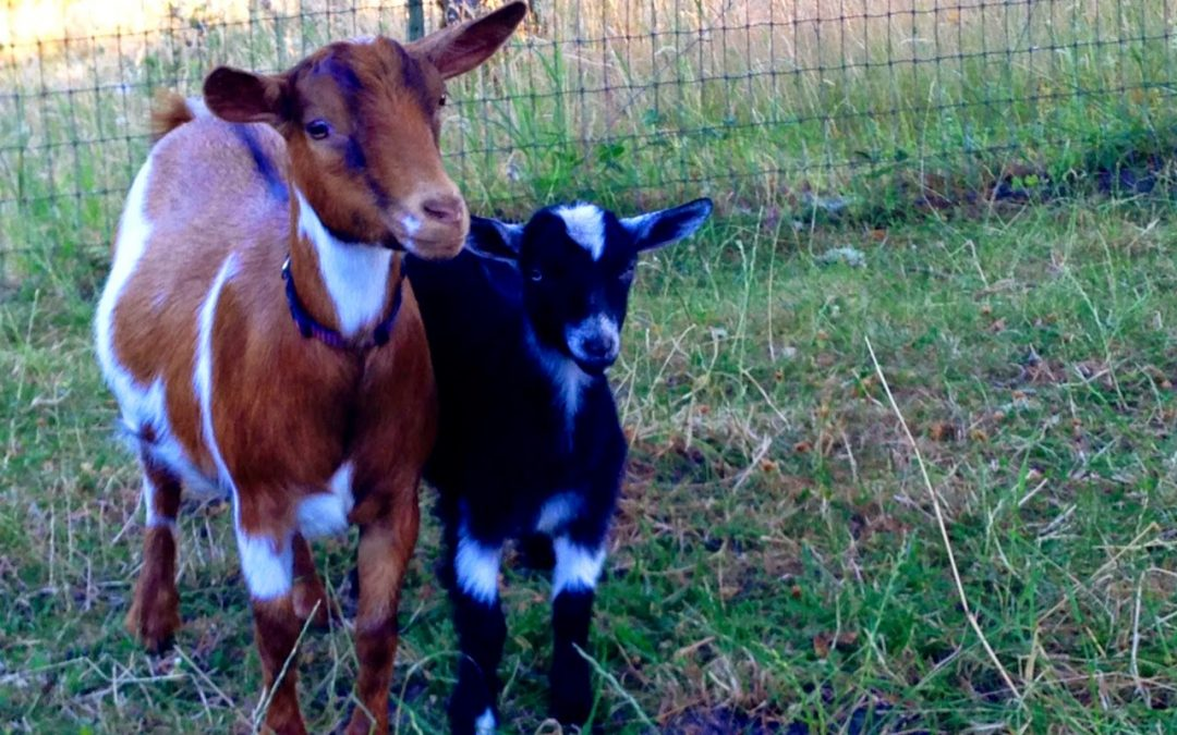 And Then There Were Goats…. (Part I)